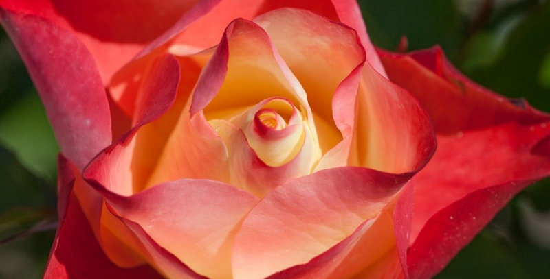 Origami rosier buisson