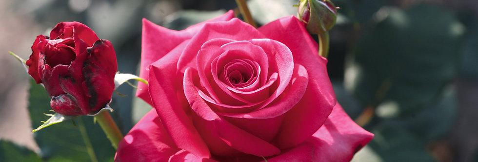 Crazy Pink Voluptia rosier buisson