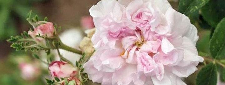 Madame A. Labbey rosier ancien de Damas