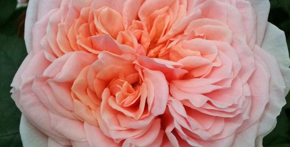 Amorosa rosier buisson