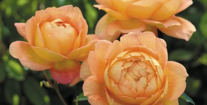 Lady of Shalott rosier buisson