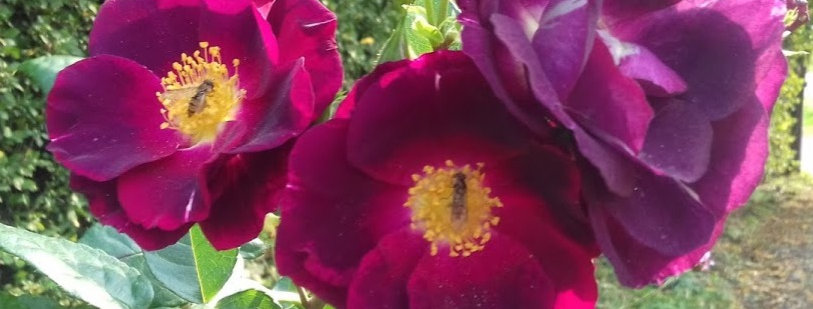 Purple Star rosier buisson