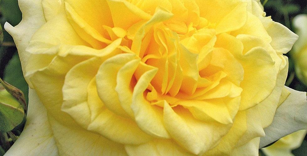 sterntaler rosier buisson