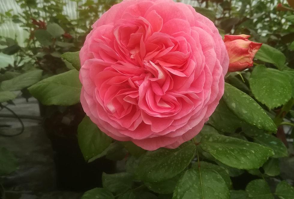 Natacha Polony rosier buisson