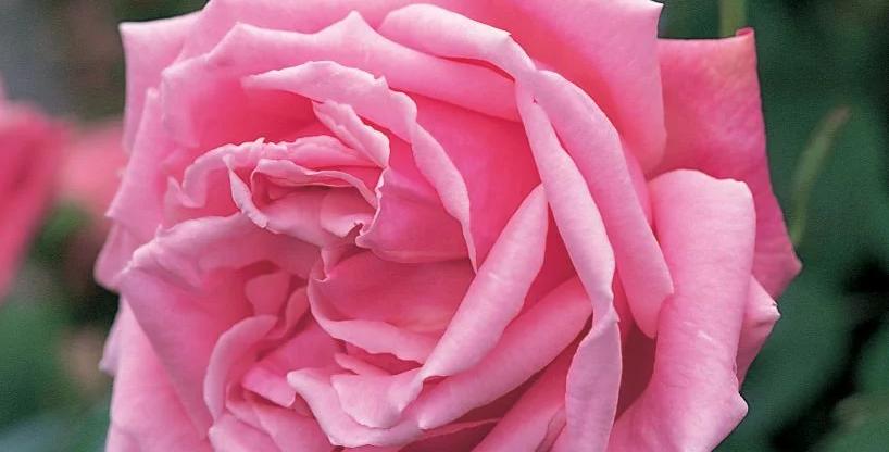 Mme Caroline Testout rosier grimpant
