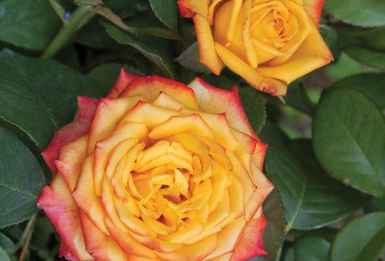 Girandola rosier buisson