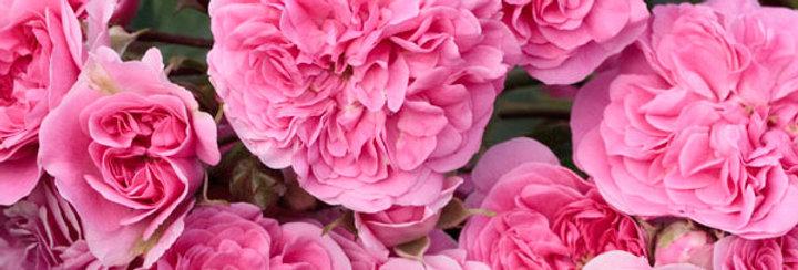 Les Quatre Saisons rosier pleureur