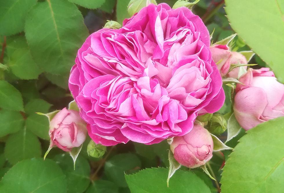 Centenaire de l'Hay les Roses rosier buisson