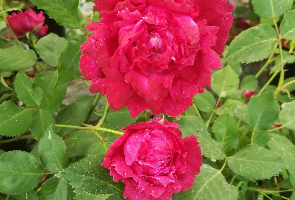 Fimbriata rouge à pétales frangés rosier ancien