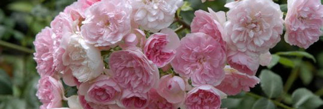 Belle de Sardaigne rosier grimpant
