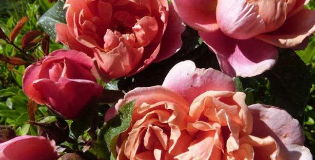 Pink Vintage rosier buisson