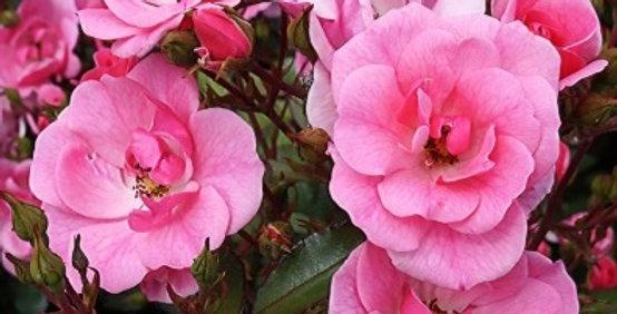 Jolie Demoiselle rosier buisson