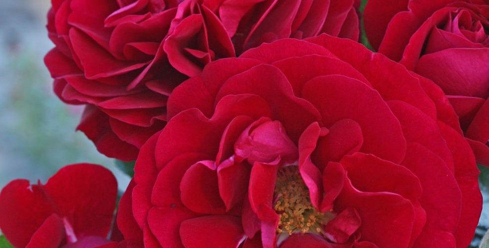 Bordeaux rosier buisson