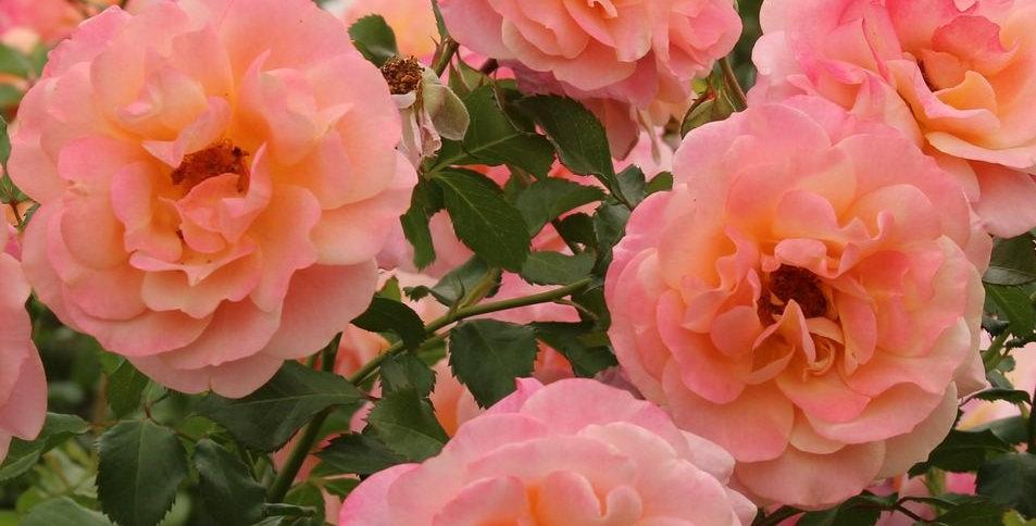Peach Melba rosier grimpant
