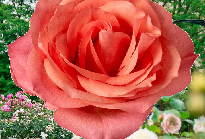 Hard Rock rosier buisson