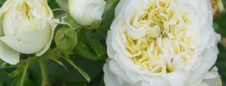 Winter Lodge rosier buisson