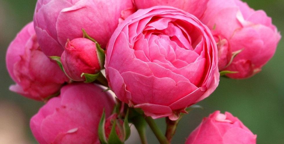 Pomponella rosier buisson