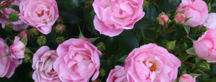 Mareva rosier buisson