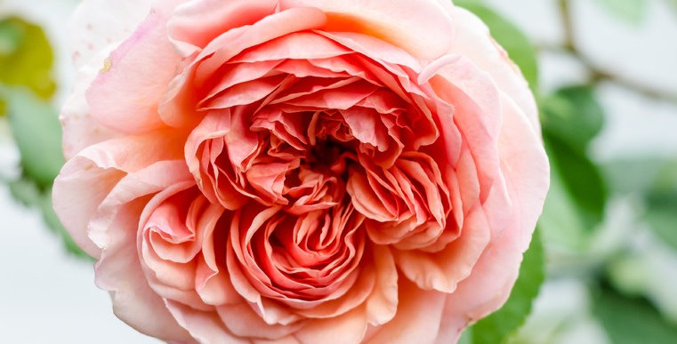 Abraham Darby rosier anglais