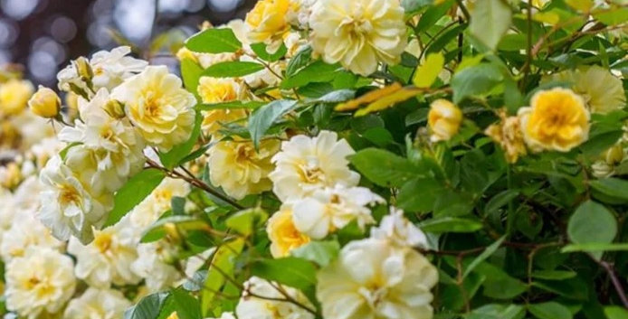 Malvern Hills rosier liane