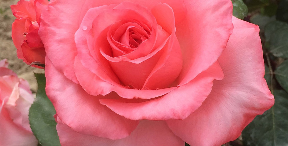 Marie Caroline rosier buisson