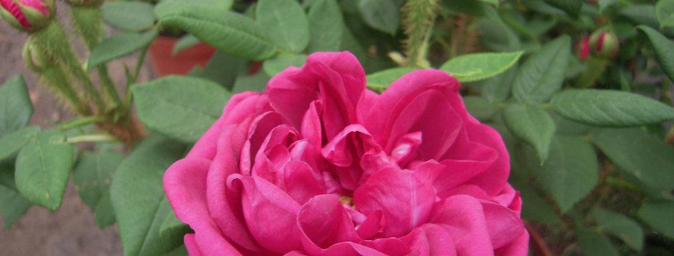 Eugénie Guinoisseau rosier ancien