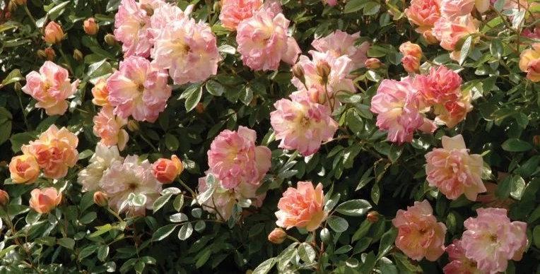 Phyllis Bide rosier grimpant
