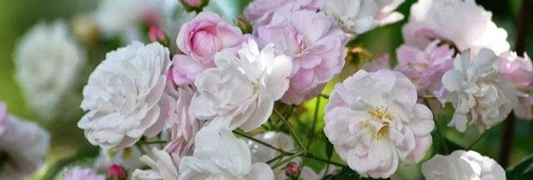 Blush Noisette rosier ancien