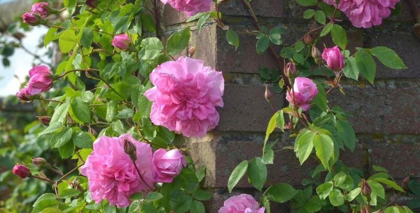 Madame Sancy de Parabère rosier liane