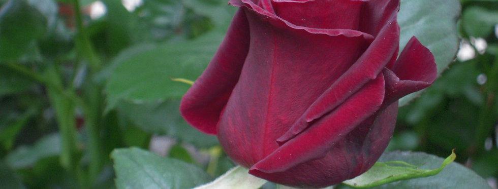 Black Baccara rosier buisson