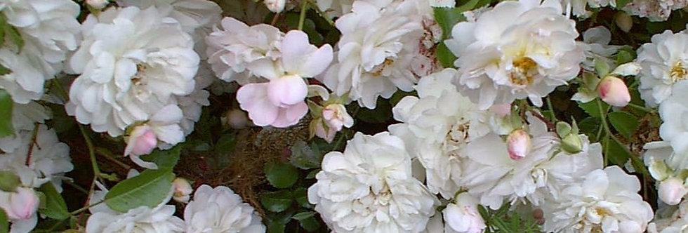 Fifi sur la volière rosier liane
