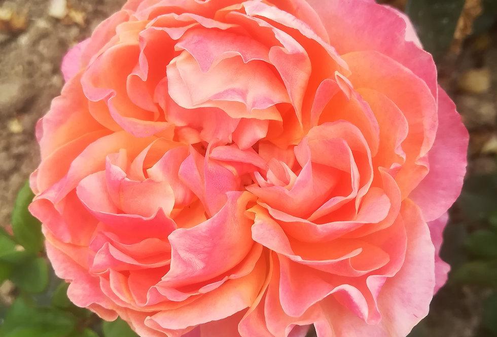 Chateau du pin rosier buisson