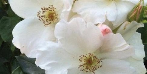 Rêve de Mireille rosier liane