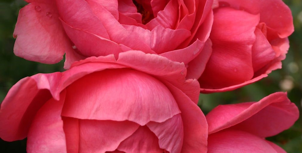 "Madame d'Estrée ""gartenprinzessin Marie-José"" rosier buisson"