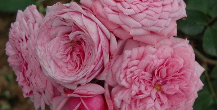 Durance Ancian Rosa rosier buisson