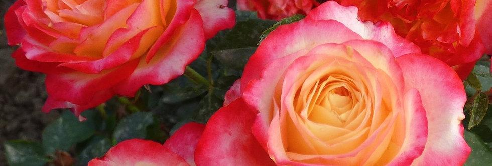 Happy Days rosier buisson