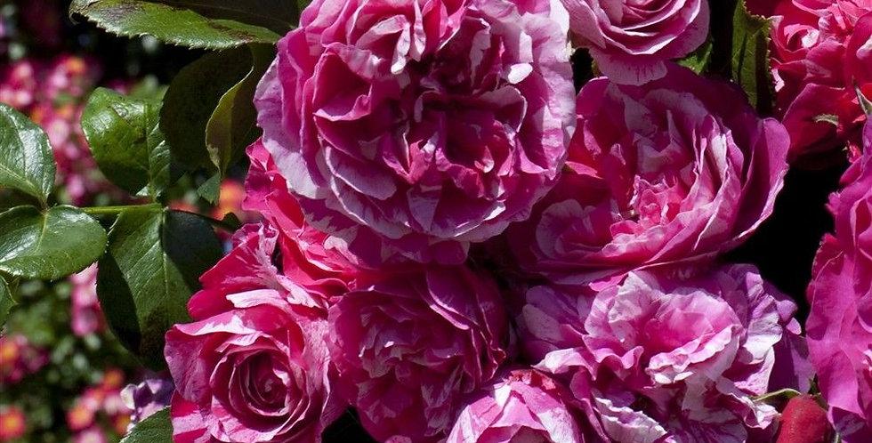 Inès Sastre rosier grimpant