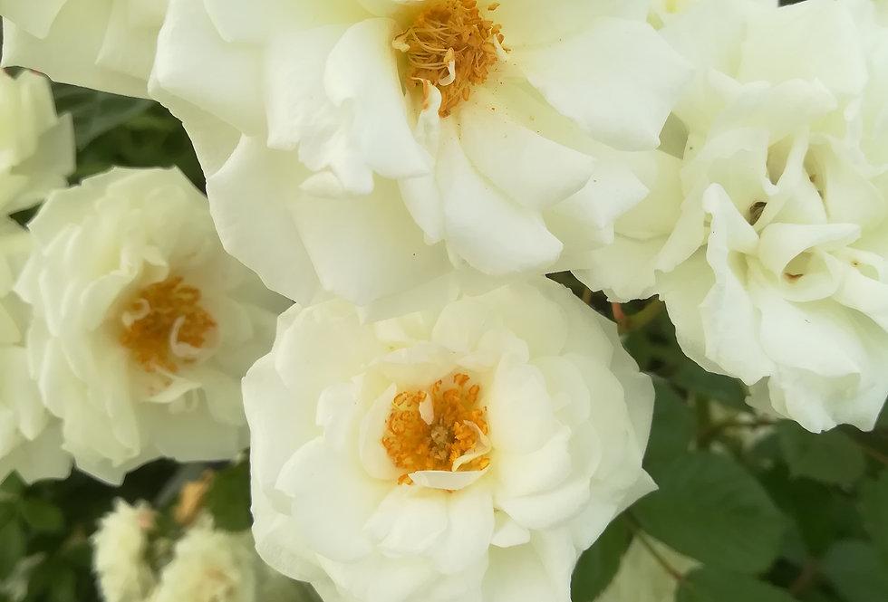 Prosperity rosier buisson