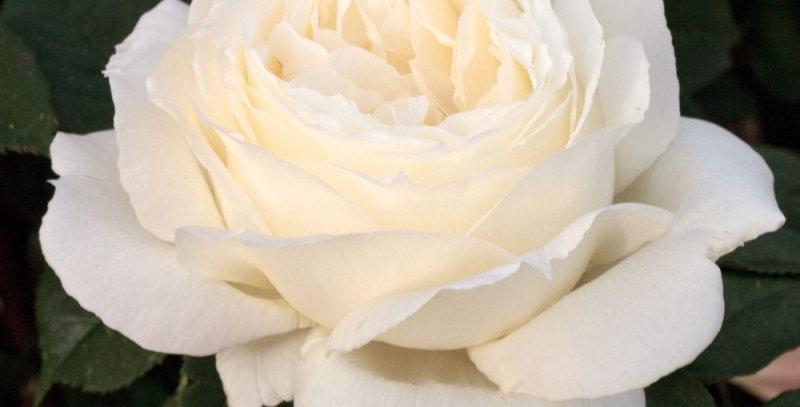 Jeanne Moreau rosier buisson