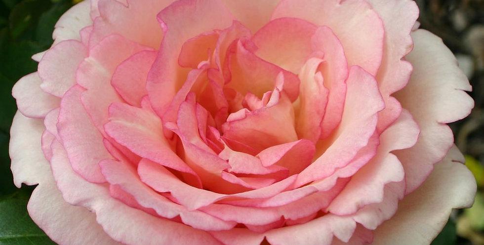Souvenir de Baden Baden rosier buisson