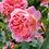 Thumbnail: Boscobel rosier anglais