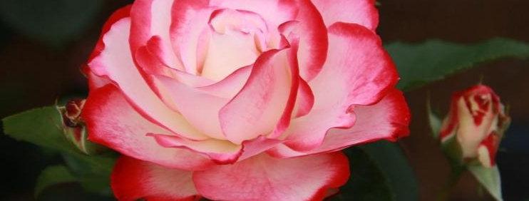 Jubilé du Prince de Monaco rosier tige
