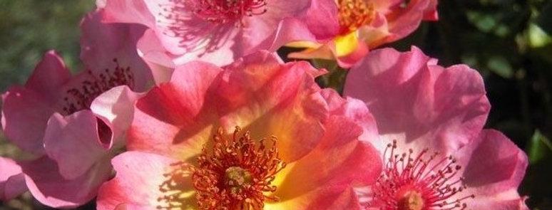 Françoise de Grignan rosier buisson