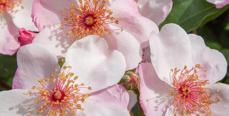 Astronomia rosier buisson