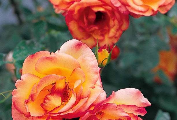 Parure d'or rosier grimpant