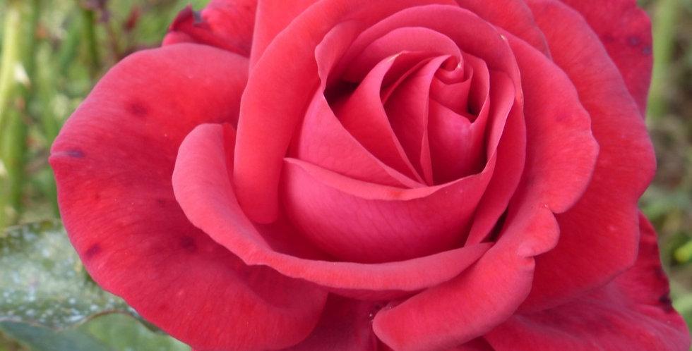Le Grand Huit rosier grimpant
