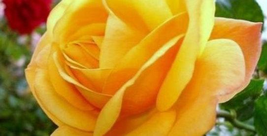 Amber Flush rosier buisson