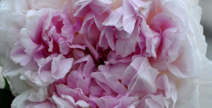 Rosalba Carriera rosier grimpant