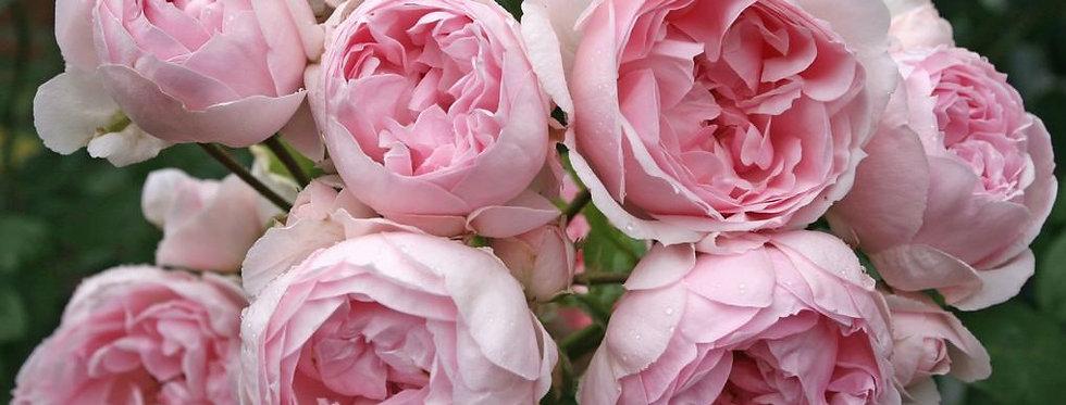 Cinderella rosier arbustif