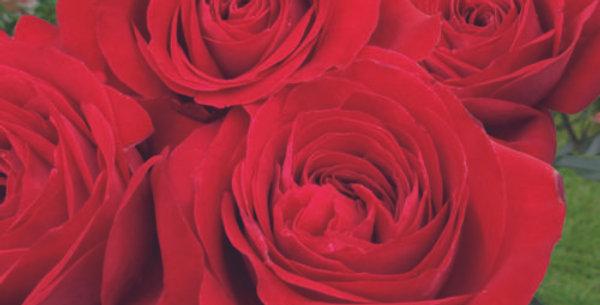 Rosemantic Red rosier buisson